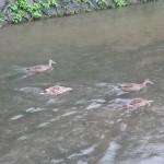 【京都散歩】鴨川で見かけた野鳥